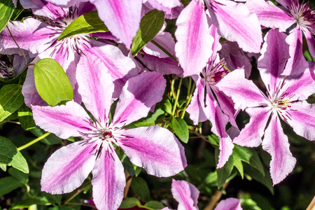 bush of pink clematis flowers in a sunny garden in the summer, name purple Oh La La clematis