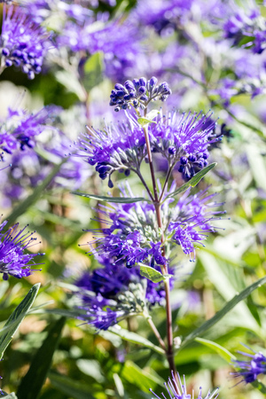 macro of Caryopteris, heavenly blue clandonensis flowers and stems in sunny garden, springtime