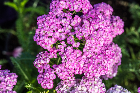 macro of beautiful pink Achillea, called Apple Blossom blossoming for spring and summer garden and flora Фото со стока