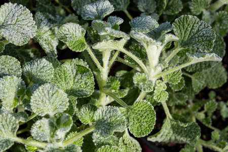 green plants of silky leaves of Marrubium Supinum with drops of water on textured foliage for beautiful perennial herbaceous garden