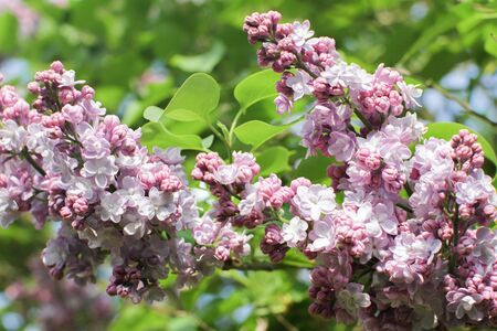 close-up of blossoming purple lilac or botanical Syringa vulgaris over green leaves background in a sunny spring for beautiful outdoor 版權商用圖片