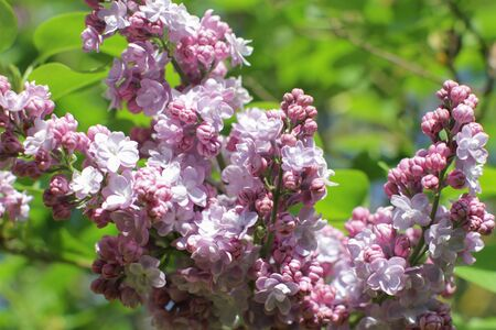 botanical closeup of Syringa vulgaris or purple lilac over green background in a sunny spring for beautiful floral gardening