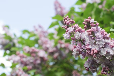 closeup of Syringa vulgaris or purple lilac branches over blurry sunny sky in springtime for bee-attracting garden, floral outdoor, empty space