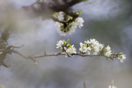 Cherry blossom flower tree blooming in a springtime morning over a foggy blurry background for relaxing serenity and feng shui Zdjęcie Seryjne
