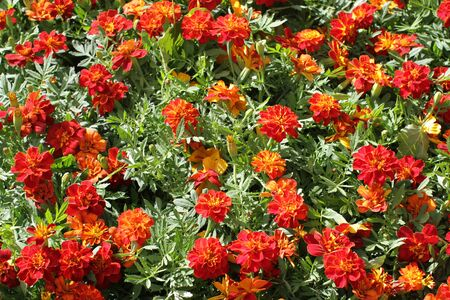 group of orange Marigold or Tagetes for perennial garden and colorful park, floral background Imagens
