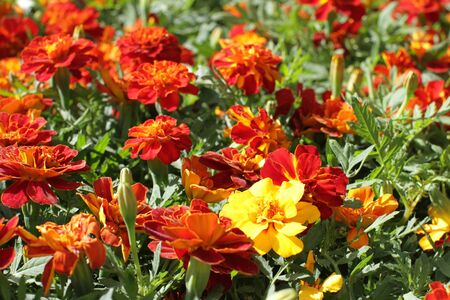 beautiful group of orange and yellow Tagetes or Marigold for colorful garden and perennial park, floral background