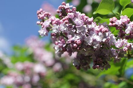 closeup of purple Syringa vulgaris or lilac branches over blurry blue sky in a sunny spring for beautiful gardening, floral outdoor