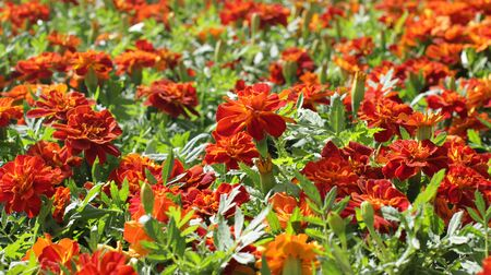 macro of group of orange Tagetes or Marigold for colorful garden and perennial park, floral background Imagens
