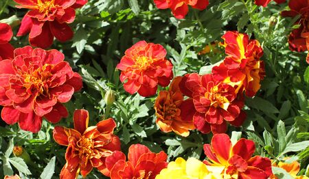 orange and yellow Tagetes or Marigold for colorful garden and perennial park, natural background