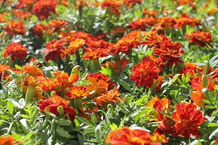 closeup of group of orange Marigold or Tagetes for perennial garden and colorful park, floral background