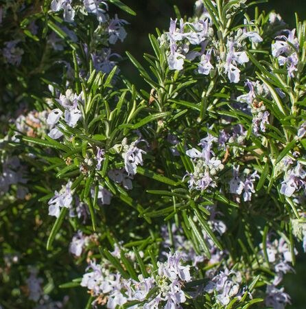 Macro of aromatic melliferous flowers of rosemary or Rosmarinus Officinalis blooming for pollens, perennial gardening and scented herbs, sunny outdoor