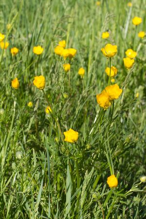 Flora and springtime - beautiful meadow with buttercups and grass for eco-friendly environment, outdoors