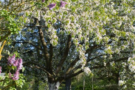 beautiful generous cherry blossom tree with purple lilac in springtime in a backyard, garden or park for pollens, beauty and nature