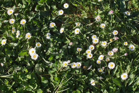 wild small daisies or Bellis Perennis in the grass of the meadow for ecology, biodiversity and rich sustainable ground Stock Photo