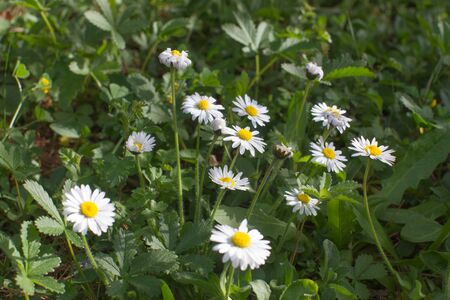 closeup of wild small daisies or Bellis Perennis in a meadow or backyard for sustainable grass, biodiversity and natural garden Stock Photo
