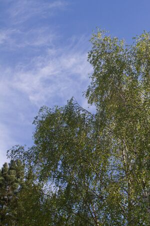 big beautiful birch trees over pollution free blue sky with high up clouds for gardening, imagination, power of trees and nature while corona virus lockdown