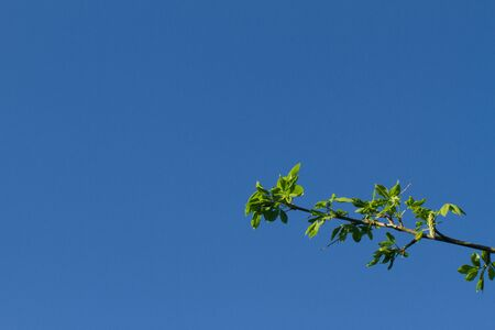 amazing plain clean blue sky without clouds and plane pollution with a branch of tree for imagination, nature, gardening with inspiration, copy space - covid-19 springtime