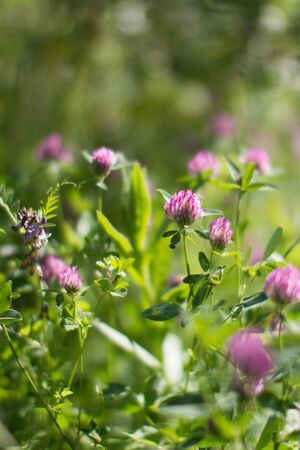 wild clover flowers in meadow, backyard or garden - blurry effect still-life for nature background Stock Photo