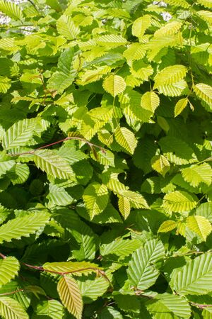 closeup of young leaves of hornbeam or Carpinus Betulus tree for beautiful nature - still life in backyard, garden or woods Stock Photo