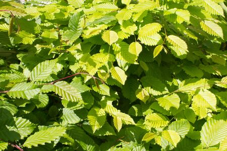 young green leaves of hornbeam or Carpinus Betulus tree for beautiful nature - springtime still life in backyard, garden or woods