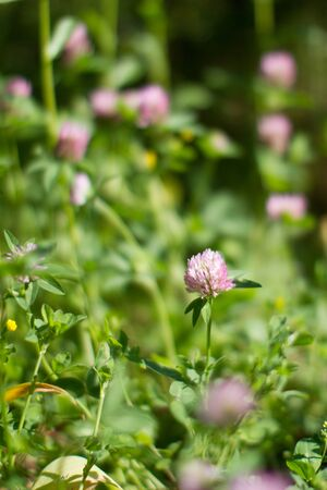 Blurry effect for botanical background. Closeup of melliferous wild clover flowers in meadow, grass, backyard or garden for flora power