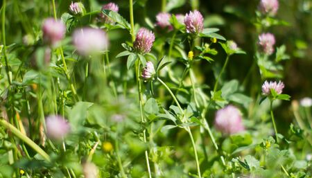 Macro for botanical background. Melliferous wild clover flowers in meadow, grass, backyard or garden for flora power Stock Photo