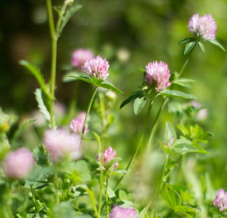 Blurry clover flowers for melliferous wild flora. Closeup still life in grass for meadow power, Europe plants