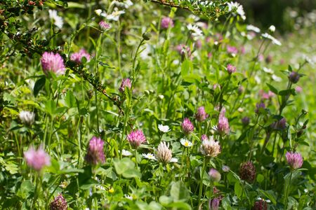 Closeup of purple and white clover flowers for melliferous wild flora. Macro still life in grass for meadow power, Europe plants