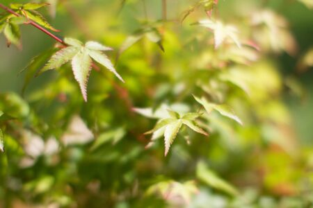 blurry effect on leaves of Acer Palmatum, Little Princess maple tree for tree power and green beauty in your backyard or garden Stock Photo
