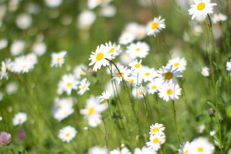 group of Leucanthemum Vulgare or wild daisies with blurry effect in springtime green meadow or grass for symbol of love and beautiful melliferous European flora