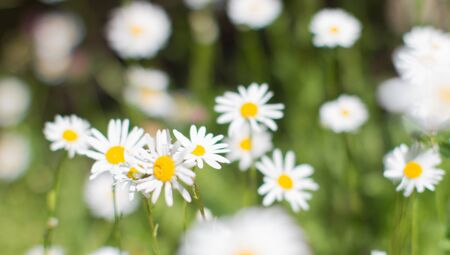 nature banner of wild daisy flowers with blurry effect in springtime green meadow or grass for symbol of love and beautiful melliferous European flora