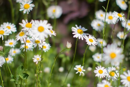 sunny group of Leucanthemum Vulgare or wild daisy flowers in springtime green meadow or grass for symbol of love and beautiful melliferous European backyard Stock Photo