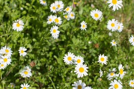 above view of wild daisy flowers or Leucanthemum Vulgare in springtime green meadow or grass for symbol of love and beautiful melliferous European park