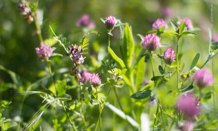 wild clover flowers in backyard, garden or meadow - still-life macro for melliferous nature power