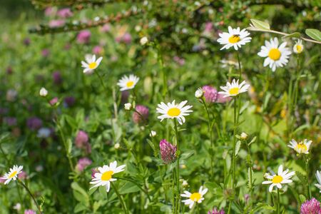 Closeup of wild daisy and clover flowers with insects, shrub and grass for beautiful various environment and European flora Stock Photo
