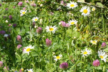 European backyard and garden rich of wild flowers for melliferous effect on insects - daisies and clovers, bush and grass for beautiful green nature Stock Photo