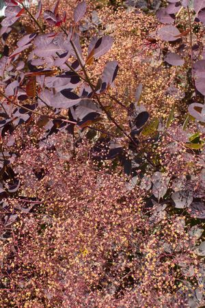Shrub of Magnoliaphyta, Royal Purple bush - Leaves and feathery flowers of Cotinus Coggygria or smoke tree for the beauty of its natural colors, European botanical still life