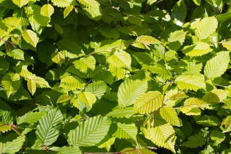 green leaves of hornbeam or Carpinus Betulus tree for beautiful nature - springtime still life in backyard, garden or woods for beautiful background
