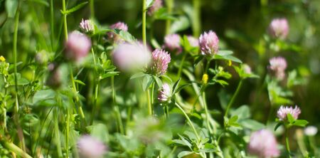 Blurry effect for botanical background. Wild clover flowers in meadow, grass, backyard or garden for melliferous flora Stock Photo