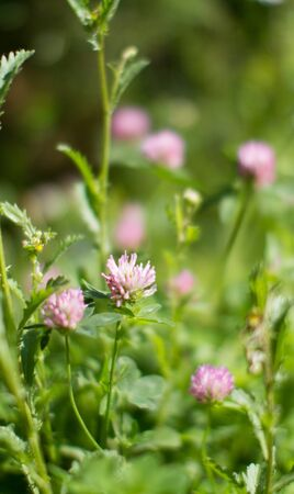 Purple clover flowers for melliferous wild flora. Closeup still life in grass for meadow power, Europe plants