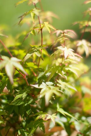 leaves of maple tree or Acer Palmatum, Little Princess type for tree power and green beauty in your backyard or garden - blurry effect Stock Photo