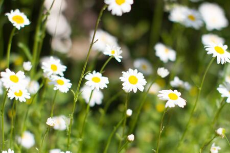 energy of wild flowers - daisies with blurry effect in springtime green meadow or grass for symbol of love and beautiful melliferous European flora Stock Photo