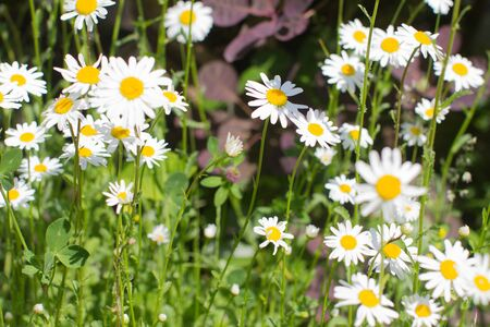 closeup of a group of wild daisy flowers or Leucanthemum Vulgare in springtime green meadow or grass for symbol of love and beautiful melliferous European garden Stock Photo