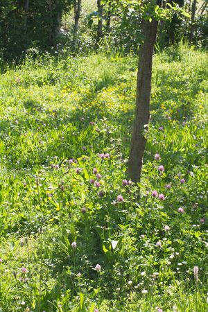 Young tree and backyard hedge with beautiful melliferous meadow full of wild clover, buttercup, plantain and daisy flowers - sunny European still life