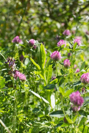 wild clover flowers in meadow, backyard or garden - still-life for nature and springtime power background, Europe flora