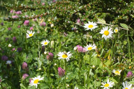Wild flowers for melliferous effect on insects - daisies and clovers, shrub and grass for beautiful various environment and European backyard  Stock Photo