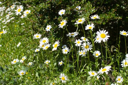 nature still life - wild daisy flowers or Leucanthemum Vulgare in springtime green meadow or grass for symbol of love and beautiful melliferous European park Stock Photo