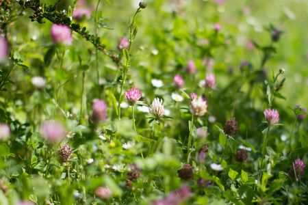 Purple and white clover flowers for melliferous wild flora. Closeup still life in grass for meadow power, Europe plants Stock Photo