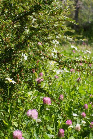 Backyard with bush and purple and white clover flowers for melliferous wild flora. Closeup still life in grass for meadow power, Europe plants