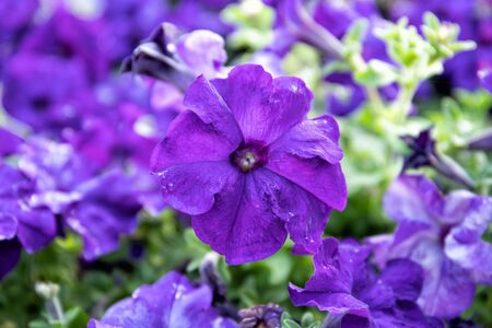 Blue Petunia close-up. Beautiful background. Flowers in the park.
